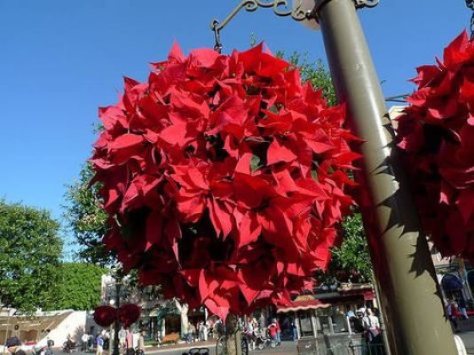 hanging poinsettia ball
